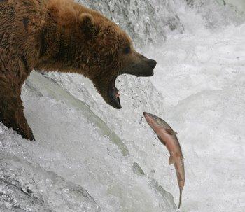 Salmon and bear 3.jpg